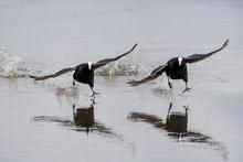Pair Of Eurasion Coots Skating...