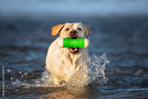 happy labrador retriever dog fetching a toy in the sea water Fototapet