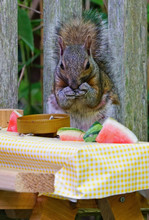 A Gray Squirrel Eating Nuts And Watermelon At A Backyard Wooden Picnic Table For Squirrels Mounted On A Garden Fence