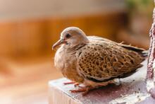 Turtle Dove Chick Close Up Photo. Small Bird Sitting On Collumn Base, Stock Photo