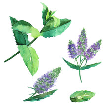 Clip Art Of Pepermint With Purple Flower Isolated On White Background. Watercolor Hand Drawing Illustration. Perfect For Poster, Pattern, Print, Summer Food Decoration, Or Medical Herb.
