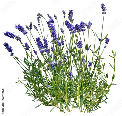 Lawenda wąskolistna (Lavandula angustifolia). - 371440308