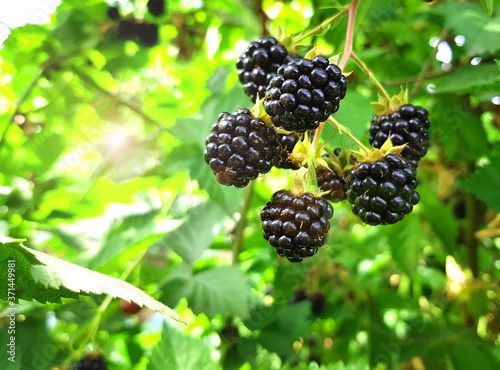 Organic blackberries among the green leaves, ripe dewberries on brunch, fresh bl Tapéta, Fotótapéta