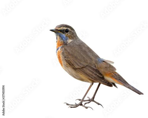 Foto Bluethroat (Luscinia svecica) beautiful brown bird with coloful orange and blue