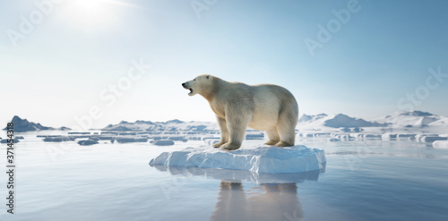 Polar bear on ice floe. Melting iceberg and global warming. Fototapet