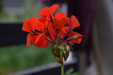 Close Up Picture Of Red Geranium