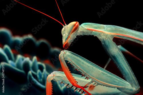 Leinwand Poster Close up of pair of Beautiful European mantis ( Mantis religiosa )