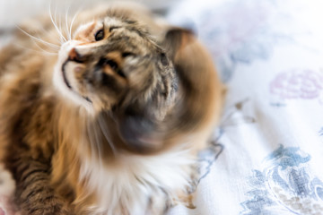 Calico maine coon cat face shaking hair fur fluffy on bed in bedroom, shedding, action motion movement fast speed, blurry, blurred
