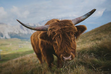 Portrait Of Highland Cattle Grazing In Pasture