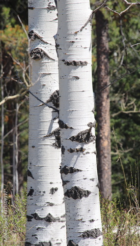 Fotografie, Obraz Close-up of two silver birch trees