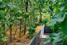 Tomato Garden, Green Tomatoes