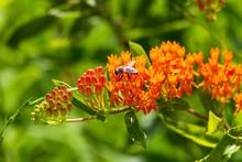Bee Feeding On Orange Blooming Wildflowers
