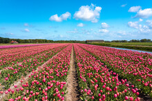 Vast Pink Tulip Field In Spring