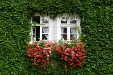 Sprossenfenster Mit Roten Geranien Geschmückt Und Von Wildem Wein Umrankt