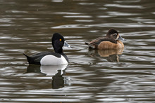 Male And Female Ring-necked Du...