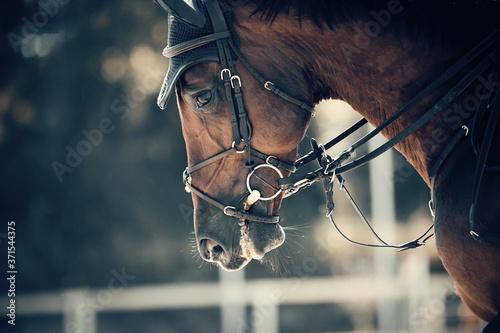 Fotografía Portrait sports stallion in the bridle. Equestrian sport.