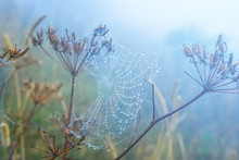 Closeup Spider Web On A Bush In A Mist And Water Drops, Natural Background