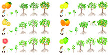 Set Of Growth Cycles Of Citrus Trees On A White Background.