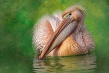 Fine Art Photo Of A Pelican