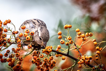 Closeup Of A Sparrow In A Tree Full Of Fruit