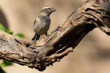 Cape Sparrow Female Sitting On...