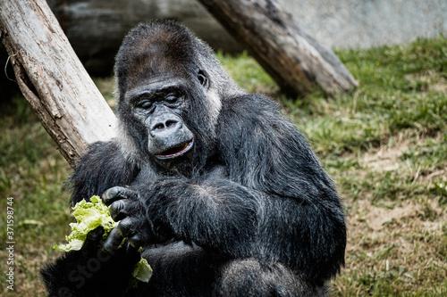 Valokuvatapetti Portrait d'un gorille des plaines de l'ouest