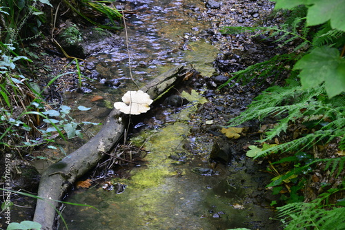 Fototapeta Fungus on a log at Shanklin Chine in the Isle of Wight.