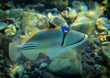 Coral Nature Reserve At The Red Sea, Colorful Fish With Name Picasso Triggerfish, Scientific Name Is Rhinecanthus Assas, The Species Belongs To The Family Balistidae