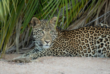 Beautiful Adult Leopard With Green Eyes Lying In Sand By A Palm Tree In Kruger Park South Africa