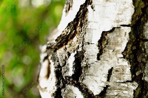 Przepiękna struktura kory brzozy - 371623509
