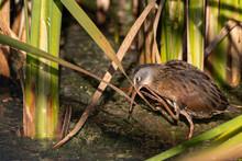 Virginia Rail Scratching Beak Between Colorful Green Reeds In Shallow Marsh