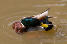 Dabbling Duck Cleaning Itself
