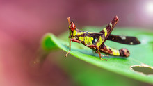 Rare Yellow And Black Locust With Big Red Eyes, Resting On A Leaf. He Can Jump Far With Its Powerful Legs. Bug's Life Macro Photography In The Tropical Nature Of Koh Lanta, Thailand