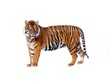 tiger on white background