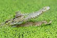 Saltwater Crocodile In A Pond Full Of Algae