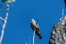 Looking Up At A Mississippi Kite Perched On A Small Branch