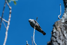 Mississippi Kite Looking Down From Its Treetop Perch