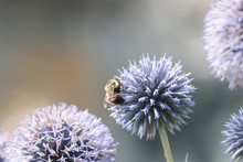Bee On A Globe Thistle Flowers...