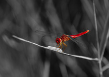 Red-veined Darter Perched On W...
