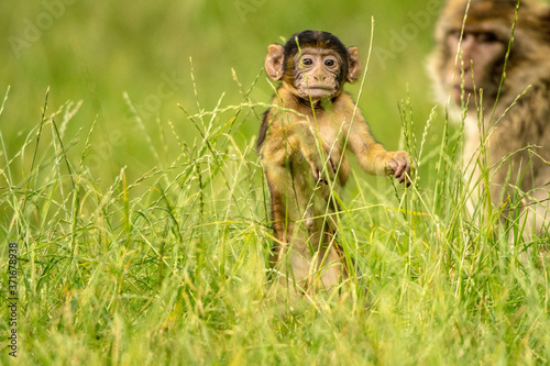Fotografering Small capuchin monkey playing and being carried through the grass