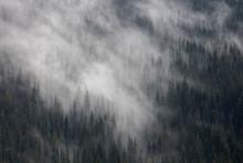 Fog Rolls Over Pine Trees.