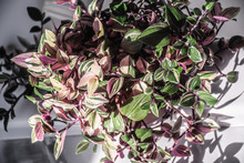 Pink Tricolor Wandering Jew Pl...