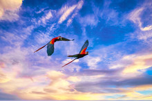 Scarlet Macaw Parrots In The Osa Peninsula, Costa Rica, At Sunset