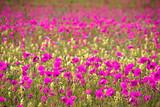 Fototapeta Na ścianę - Wildblumen - Mohn in der Natur