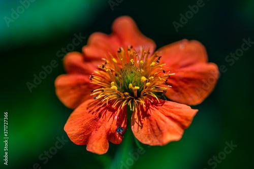 Fototapeta Geum red flower