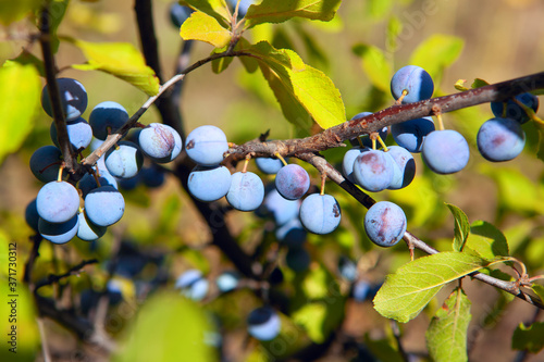 Fototapeta Sloes berry growing on the branch