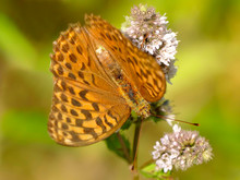 Silver-washed Fritillary On A Flower Of A Peppermint