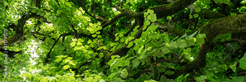 Panoramic view into the tree top of the linden tree. Green natural background