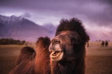 Camel Head , Close-up On Deser...