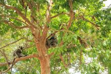 Gray Langur Monkeys In A Tree